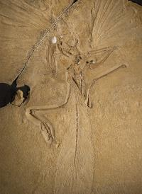Archaeopteryx lithographica [London specimen]