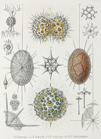 Scientific illustrations of radiolarians, by Ernst Haeckel.