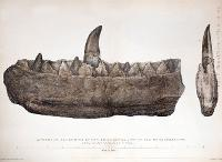 Image of Megalosaurus jaw and teeth