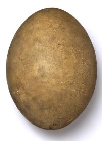 Photograph of penguin egg.