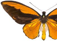 Wallace's golden birdwing butterfly.