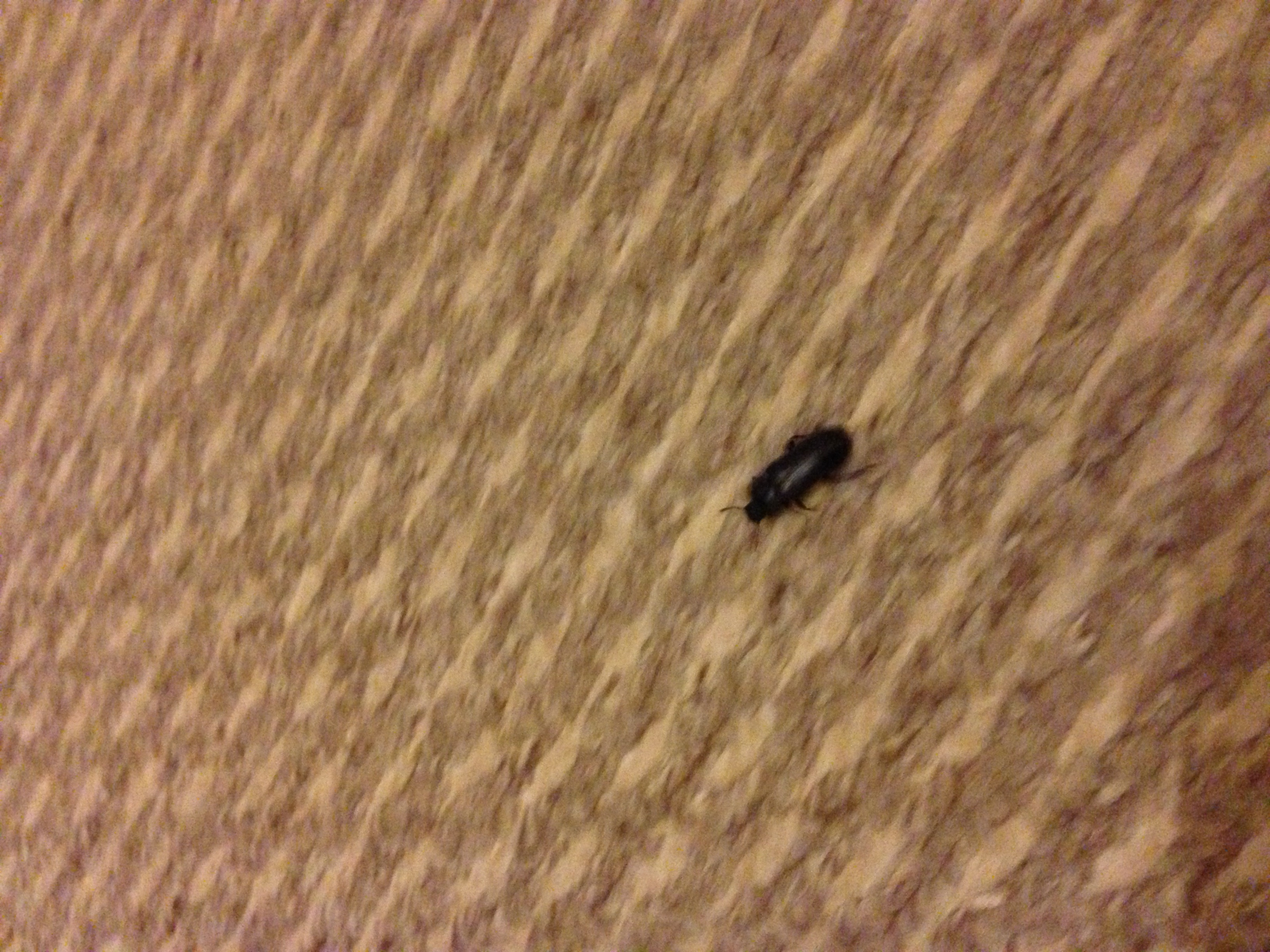 Keep Finding These Beetles All Over My Flat