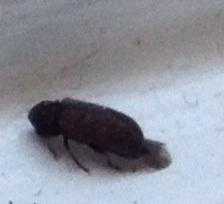 Natureplus Please Help Me Identify Tiny Black Bugs Found