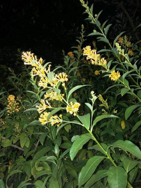 Natureplus i have been trying to identify this shrub which grows in i have been trying to identify this shrub which grows in gardens in houston texas it flowers most of the year and grows about 10 feet tall in part shade mightylinksfo