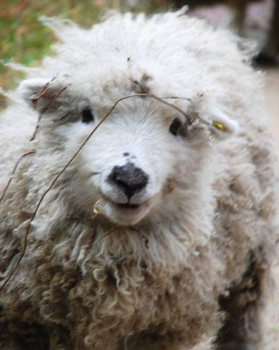 bee-lamb-400.jpg