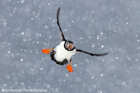 puffin-snow.jpg