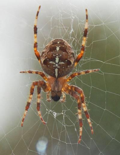 Araneus-diadematus-400.jpg