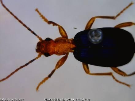 bombardier beetle.jpg