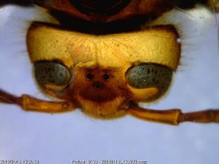 Hornet head.jpg