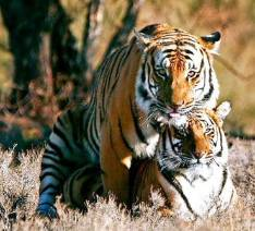 tigers-mating.jpg