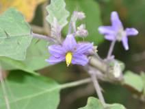 Solanum_violaceum23Feb.jpg