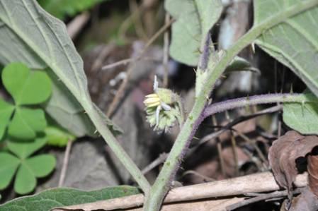 Solanum_praetermissum.jpg