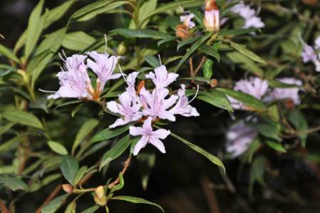 Rhododendron_ShiwenMtns.jpg