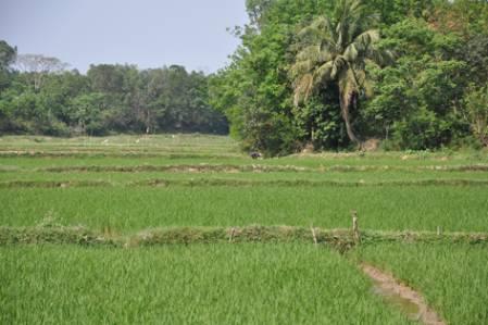 Rice_paddies_DSC_1930.jpg