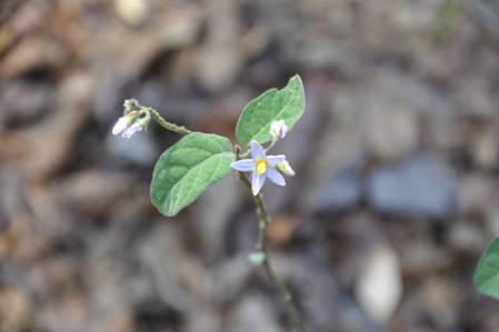 Solanum_nienkui_DSC_2236.jpg