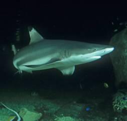 sharksml.jpg