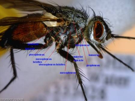 tachinidae-thorax-bristles-side-view.jpg