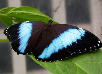 Blue-morpho-big.jpg