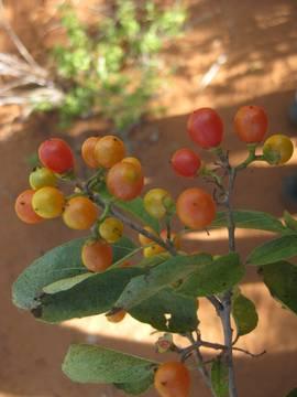 6sweet-cordia-sinensis.jpg
