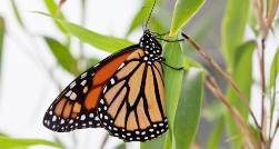 monarch-butrterfly-slide.jpg