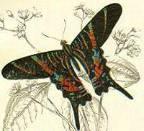 jamaican-moth.jpg