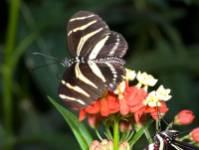 zebra-butterfly.jpg