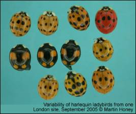 Harlequin_variation1339_MartinHoney_large.jpg