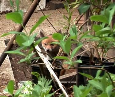 fox-cub-cropped.jpg
