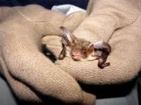 long-eared-bat-600.jpg