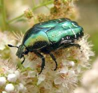 rose-chafer-Cetonia-aurata-500.jpg
