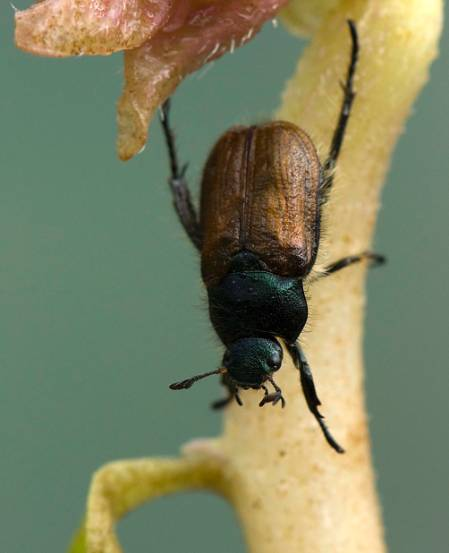 2010 garden chafer newly emerged_low.jpg