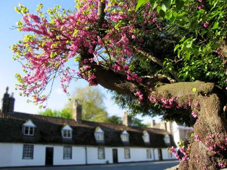 Cercis_Siliquastrum_Trunk_and_Blossom.jpg