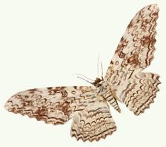 white-witch-moth-background-800-flipped.jpg