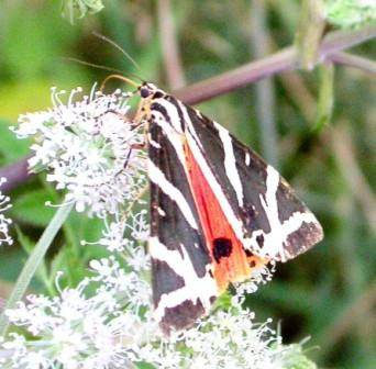 Jersey Tiger Moth for web.jpg