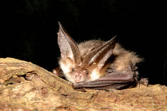 Brown-eared-bat-log.jpg
