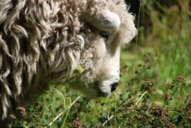 sheep-pensive-2010.jpg