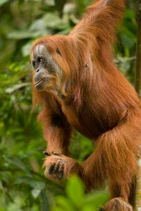 Orangutan 1 Djuna Ivereigh.jpg