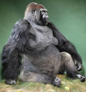 guy-gorilla-800.jpg