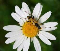 longhorn-beetle-600.jpg