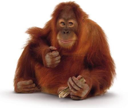 orangutan-image-900.jpg