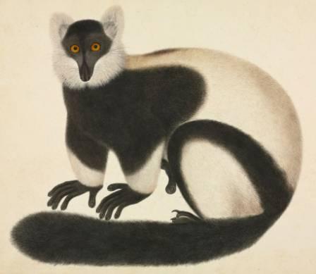 ruffed-lemur-900.jpg