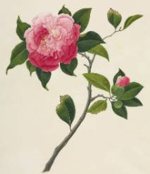 camellia-800.jpg