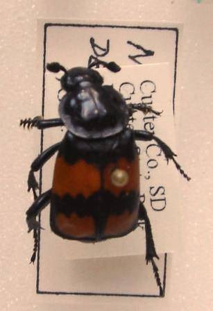nicrophorus defodienswebcompressDSC00146.JPG
