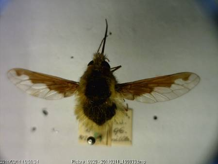 Bombylius major.jpg