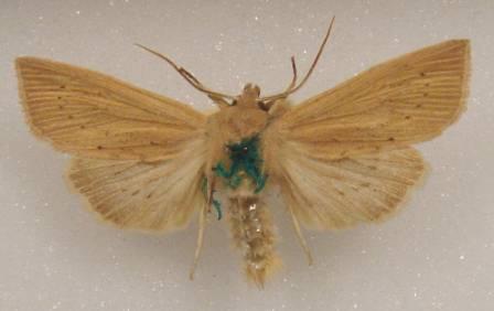 verdigris moth webDSC00148.JPG