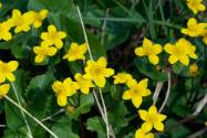 marsh-marigolds-pond-1000.jpg
