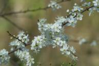 blackthorn-blossom.jpg