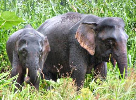 elephas-maximus-1000.jpg