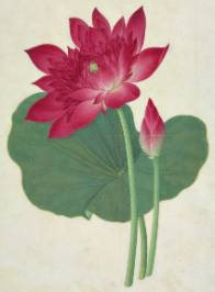 sacred-lotus-950.jpg