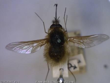 Bombylius canescens.jpg
